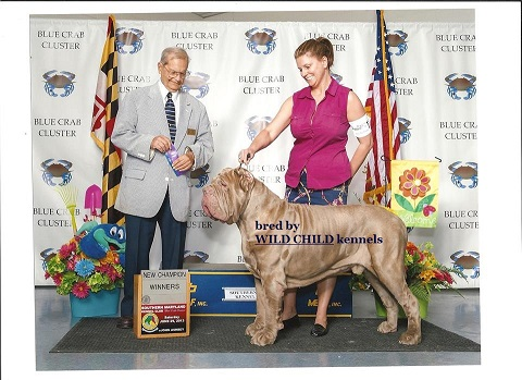 Best tawny Neapolitan Mastiff Champion
