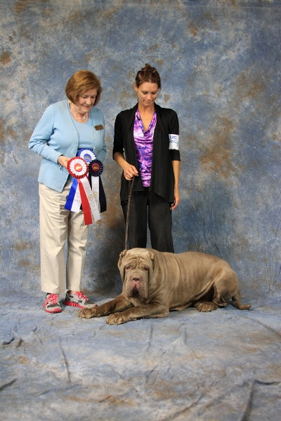 judge_neapolitan_mastiff_8