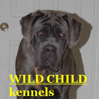 world_neapolitan_mastiff_sale
